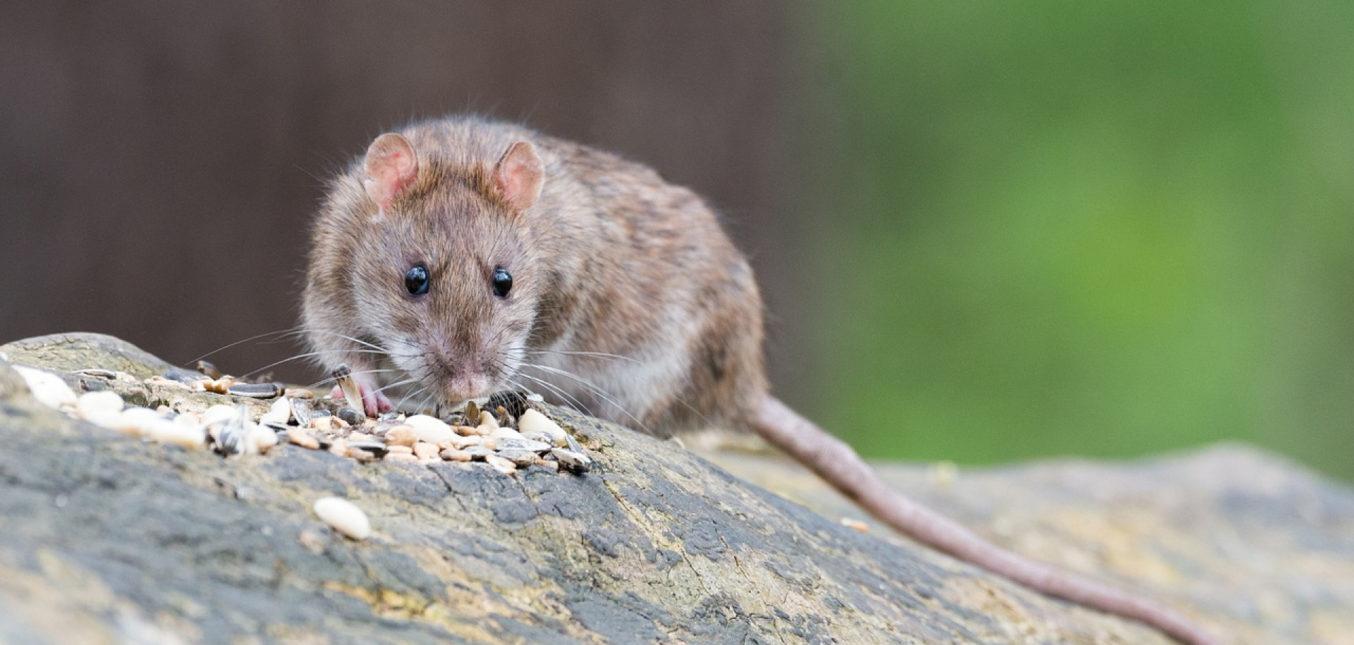Peut-on vraiment éradiquer les rats de nos villes ?