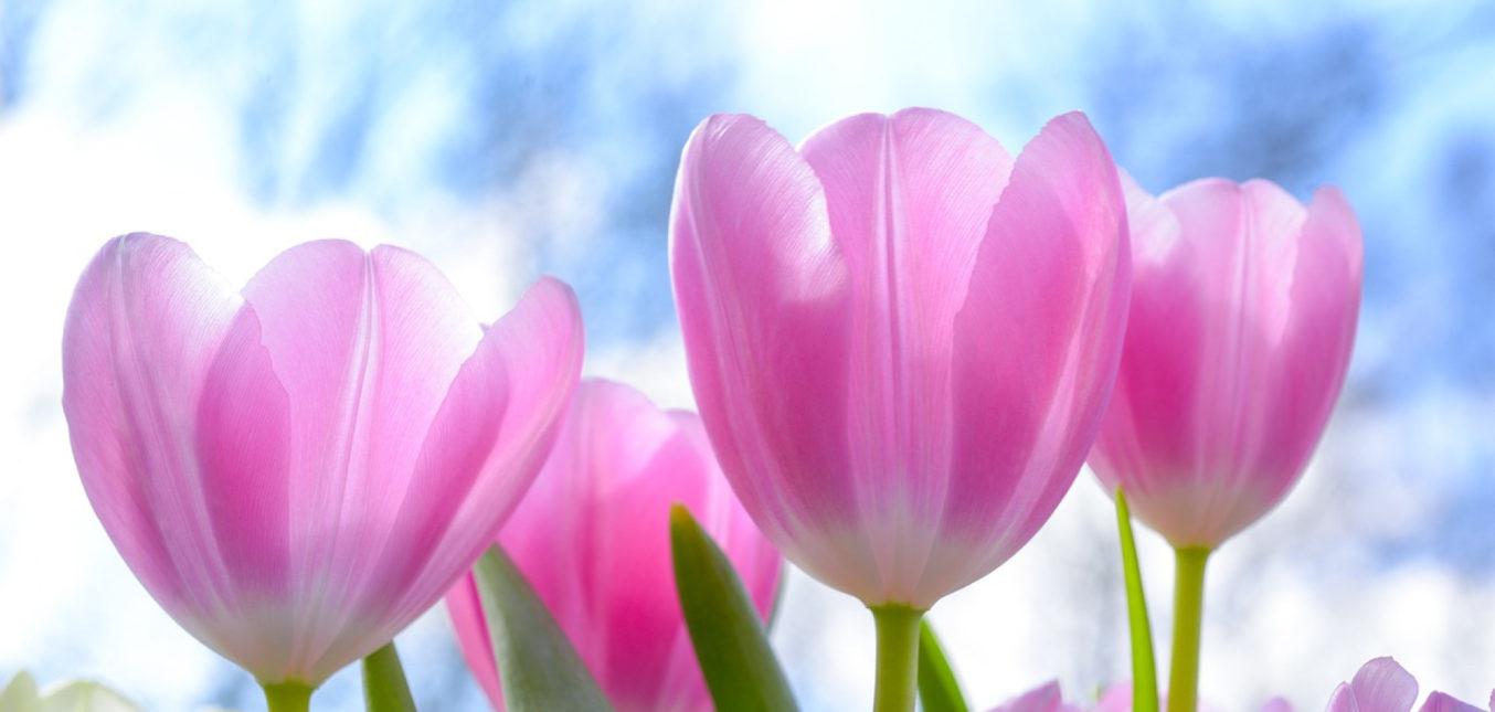Les conseils essentiels pour réussir ses plantations de tulipes !