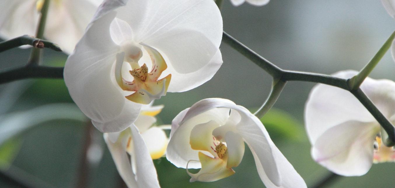 Les orchidées, les bons gestes